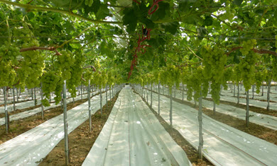 Scientific report on table grape production and quality using Coverlys and Lumilys